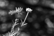 Calendula officinalis / Ringelblume