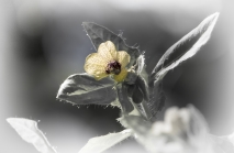 Hyoscyamus niger / Schwarzes Bilsenkraut
