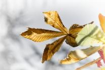Aesculus hippocastabeum / Roßkastanie / Kastanienblatt