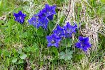Enzian, Gentiana alpina / Zillertal, Zellberg, Tirol, Austria