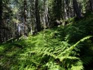 Farne, Bergwald / Patscherkofel, Tirol, Austria