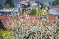 blühender Kirschbaum im Frühling / Kirschblüte