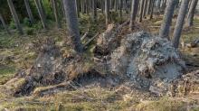 Wurzelbruch, entwurzelte Fichten, Bäume / Patscherkofel, Tirol, Austria