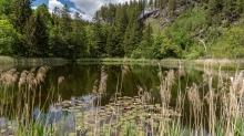 Seerosenweiher, Lans, Tirol Austria / Schilf