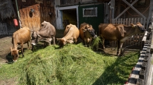 Jersey Kühe / Aldrans, Tirol, Austria