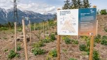 Aufforstung, Jungwald / Lanser Kopf, Paschberg, Lans, Tirol, Austria