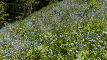 Bergwiese / Vergissmeinnicht / Patscherkofel, Tirol, Austria