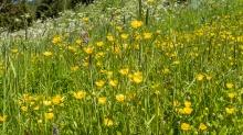 Bergwiese / Hahnenfuß / Ranunkel / Ranunculus