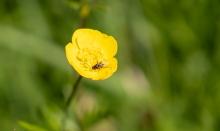 Hahnenfuß / Ranunkel / Ranunculus