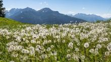Löwenzahnwiese am Patscherkofel, Tirol, Austria