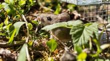 Maus, Waldmaus, Apodemus sylvaticus / Innsbruck, Tirol, Austria