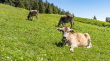 Kälber auf der Patscher Alm,  Patscherkofel, Tirol, Austria