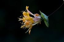 Blüten des Gartengeißblatts / Lonicera caprifolium