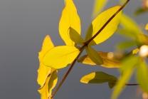 Blätter des Gartengeißblatts / Lonicera caprifolium