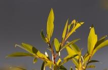 Blätter der Goldweide