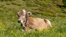 Kühe am Patscherkofel, Tirol, Austria