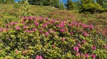 Almrosen, Alpenrosen / Patscherkofel, Tirol, Austria