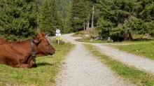 Kühe im Viggartal, Ellbögen, Tirol, Austria