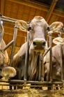 Braunvieh, Kühe im Kuhstall / Tirol, Austria