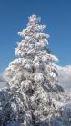 verschneite Lärche (Larix) / Igls, Innsbruck, Tirol, Austria