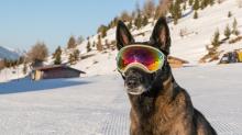 Holländicher Schäferhund mit Skibrille, Hundebrille