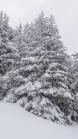 verschneite Bäume / Patscherkofel, Tirol, Austria