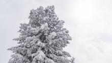 verschneite Zirbe / Patscherkofel, Tirol, Austria