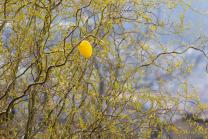 Ostereier hängen auf einer Korkenzieherweide