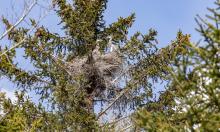 junge Graureiher im Nest