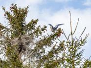 Graureiher im Anflug zum Nest