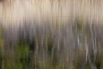 Schilf spiegelt sich im Wasser, Schilfrohr, Phragmites