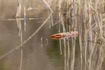 Schilf im See, Schilfrohr, Phragmites
