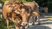 Kühe auf einem Wanderweg / Arztal, Ellbögen, Tirol, Österreich