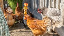 Hühner auf einem Bauernhof in Aldrans, Tirol Österreich