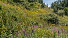 Hochstaudenflur / Alpengarten der Universität Innsbruck, Patscherkofel, Tirol, Österreich