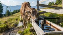 Kühe auf der Alm / Patscherkofel, Tirol, Österreich