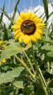 Sonnenblume / Aldrans, Tirol, Österreich