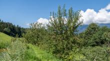 Apfelbaum / Aldrans, Tirol, Österreich