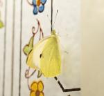 Großer Kohlweißling / Schmetterling