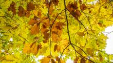 Eichenblätter im Herbst / Igls, Innsbruck, Tirol, Österreich